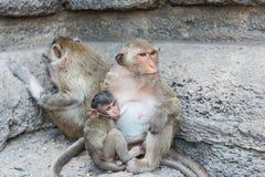 Thailändischer asiatischer wilder Affe, der verschiedene Tätigkeiten tut Stockbild