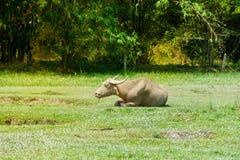 Thailändischer Büffel, der auf grünem Gras nahe dem Wald sitzt stockfoto