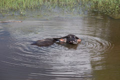 Thailändischer Büffel im Wasser Stockfoto