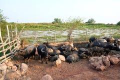 Thailändischer Büffel mit Sonnenuntergang Life'-Maschine des Landwirts lizenzfreie stockbilder