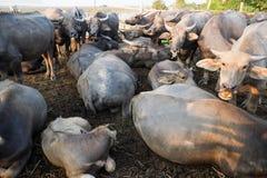 Thailändischer Büffel mit Sonnenuntergang Life'-Maschine des Landwirts lizenzfreies stockbild