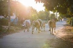 Thailändischer Büffelweg über dem Feld gehen nach Hause stockfoto