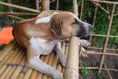 Thailändischer brauner Hund, der auf einem Bambusbalkon sitzt lizenzfreies stockfoto