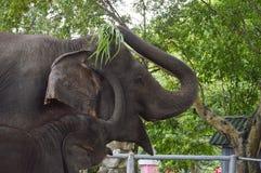 Thailändischer Elefant des Babys, der Mutter um Lebensmittel bittet Lizenzfreie Stockfotografie