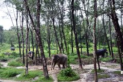 Thailändischer Elefant im Regenwaldfotobild stockfotografie
