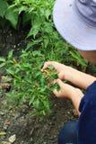 Thailändischer Gärtner wählt Paprika aus Stockbild