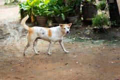 Thailändischer Gene Dog stockfotografie