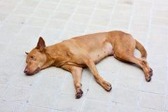 Thailändischer Hund Stockbild