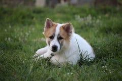 Thailändischer Hund nannte Bangkaew Stockbild