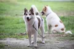Thailändischer Hund nannte Bangkaew Lizenzfreie Stockfotos