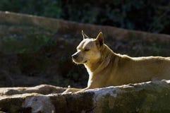 Thailändischer Hundeblick herum Stockbild