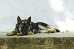 Thailändischer Hundeblick traurig Lizenzfreie Stockfotos
