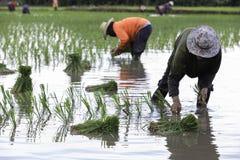 Thailändischer Landwirt auf dem Reisgebiet Lizenzfreie Stockfotografie