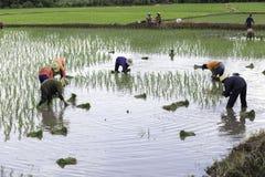 Thailändischer Landwirt auf dem Reisgebiet Stockfotografie