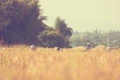 Thailändischer Landwirt, der Reis - Weinlese erntet Stockfoto