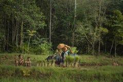 Thailändischer Landwirt pflanzt Reis auf den Gebieten gegen das Regnen des Grüns stockfoto