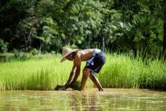 Thailändischer Landwirt zupfen den Reissämling für Reisversetzung in anderer archiviert lizenzfreies stockbild