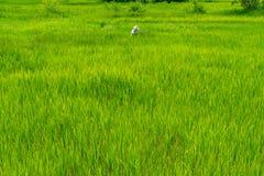 Thailändischer männlicher Landwirt, der auf dem grünen Reisgebiet arbeitet Stockfotografie