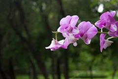 Thailändischer Orchidee Phalaenopsis Lizenzfreies Stockfoto