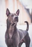 Thailändischer ridgeback Hund in der Stadt auf der Straße Lizenzfreie Stockfotos