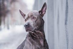 Thailändischer ridgeback Hund in der Stadt auf der Straße Stockfotografie