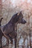 Thailändischer ridgeback Hund im Park auf der Straße Lizenzfreie Stockfotografie