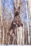 Thailändischer ridgeback Hund im Park auf der Straße Stockfotos
