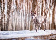 Thailändischer ridgeback Hund im Park auf der Straße Lizenzfreies Stockbild
