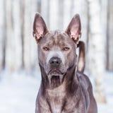 Thailändischer ridgeback Hund im Park auf der Straße Lizenzfreie Stockfotos