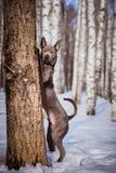 Thailändischer ridgeback Hund im Park auf der Straße Lizenzfreie Stockbilder