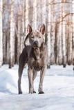 Thailändischer ridgeback Hund im Park auf der Straße Stockfotografie