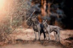 Thailändischer Ridgeback-Hund im Rauchsommerwald lizenzfreie stockfotografie
