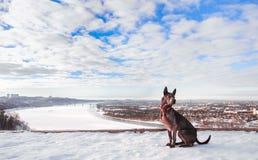 Thailändischer ridgeback Hund im Winterpark Lizenzfreie Stockfotos