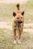 thailändischer streunender Hund im trockenen Gras Stockbild