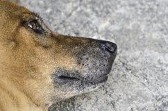 Thailändischer ursprünglicher brauner Hund mit dem einsamen Auge, das auf das Grau conc legt Lizenzfreies Stockbild