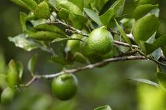 Thailändischer Zitronenbaum lizenzfreie stockfotografie
