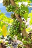 Thailändisches Ficus Carica Lizenzfreie Stockfotos