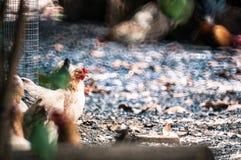 Thailändisches Huhn Lizenzfreies Stockbild