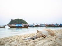 Thailändisches Hundeschlafen Stockfotos
