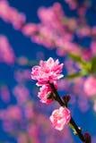 Thailändisches Kirschblüte-Blühen Stockfotografie