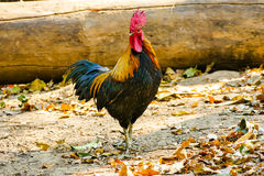 Thailändisches männliches Huhn Stockbild