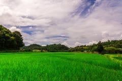 Thailändisches Naturlandschaftsreisfeld mit schönem blauem Himmel und Wolken Lizenzfreie Stockfotos