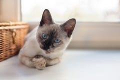 Thailändisches nettes Kätzchen Stockbild