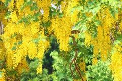 Thailändisches Wort Dok Koon, gelbe Blume von songkran Festival, Hintergrund der gelbes Goldblumenblüte stockfotografie