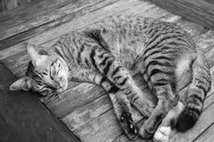 Thailändsk älskvärd katt Arkivbilder