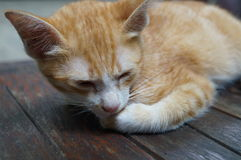 Thailändsk älskvärd katt Fotografering för Bildbyråer