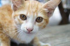 Thailändsk älskvärd katt Arkivfoto