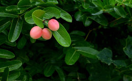 Thailändsk ört - Carissacarandas L , Karanda- frukt Arkivbilder
