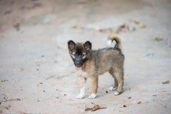 Thailändsk bangkaew behandla som ett barn hunden Royaltyfri Foto