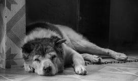 Thailändsk bangkaewhund Royaltyfri Bild